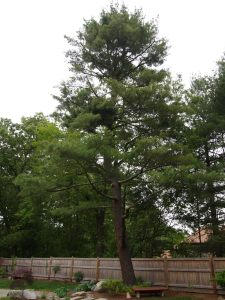 The Large Pine Tree near the patio.  I love this tree.