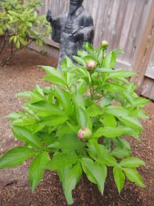 Not yet bloomed Peonies