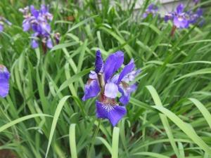 Purple Bearded Lily