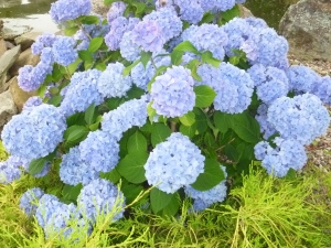 There were hydrangeas everywhere, and they were so big and blue. Loved seeing them!