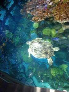 Here is the star of this habitat. She is 85 yrs old an dhas been living at the NEAQ since 1968!!  She has the most amazing greenish blue eyes.