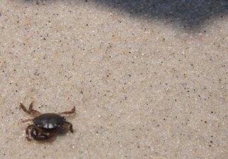A little crab