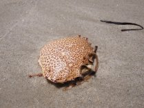 What I think is a leopard crab???