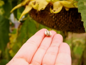 Sunflower seeds right off the flower! Just like in Sicily! (but not as big!!)