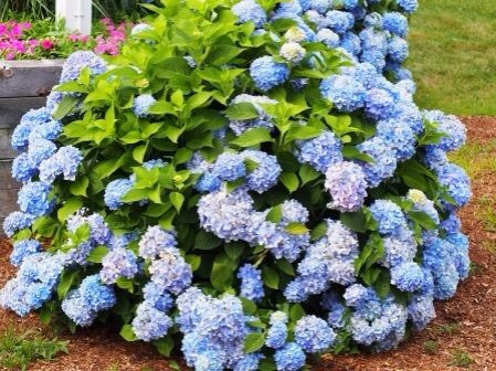 The hydrangeas are just beautiful here