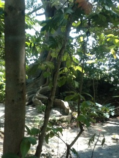 At Dunn's River Falls they had these amazing trees