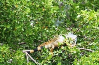 Along the trip back to the dock/next leg of the tour, we saw giant iguana's in the trees on the water.. insane!!