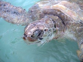 The adult turtles were kept in large naturalized areas with sand to lay eggs and be free.