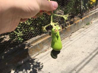We saw a cashew tree