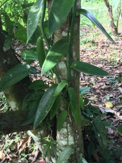 Orchid that produces vanilla
