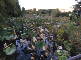 lily pads overgrown