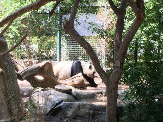 San Diego Zoo- pandas