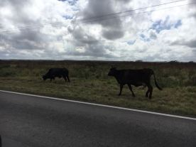 This was also fascinating.. livestock hanging out highway side grazing. This was everywhere, from cows, to sheep, to chickens.