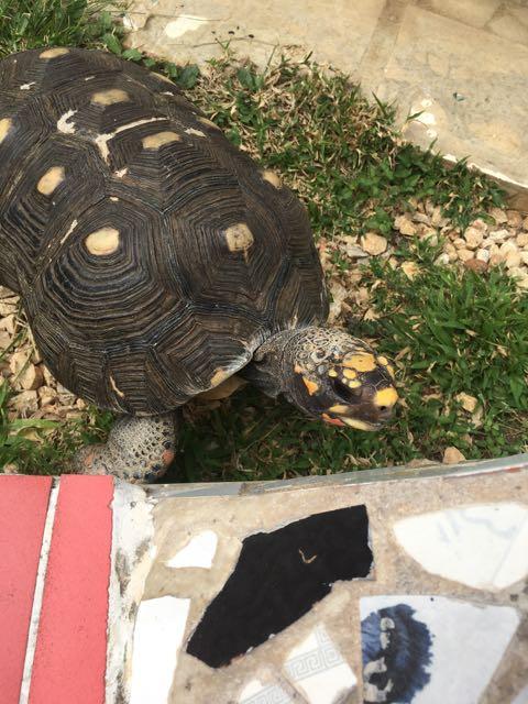 A turtle in Fusterlandia
