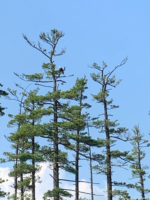 another sighting but there are TWO~! American Bald Eagle in the tree -Maine 2019
